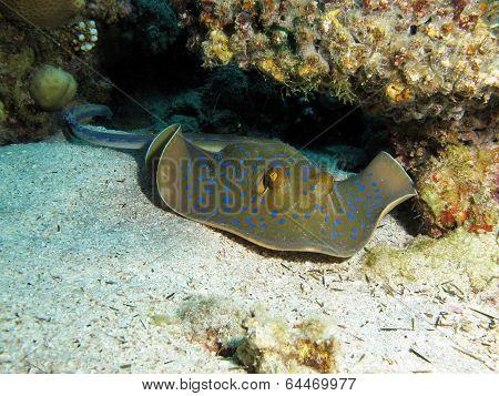 Ribbontail stingray
