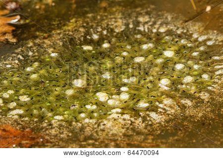 Frog Tadpole