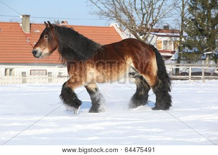 Nice Dutch Draught Horse With Long Mane Running In The Snow