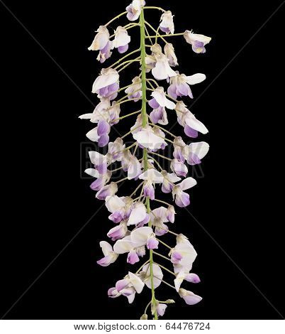 Close-up of a wisteria branch
