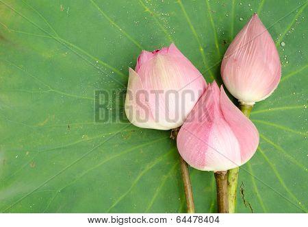 Nelumbo Nucifera On Lotus Leaf Background