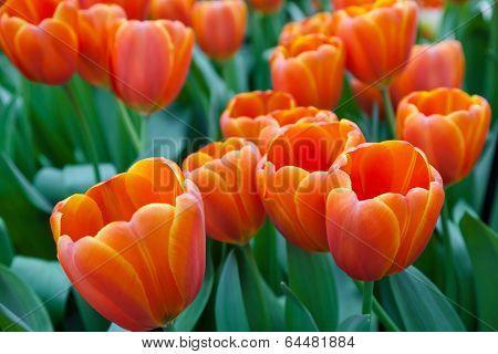 Tulips in Keukenhof Garden Lisse Netherlands
