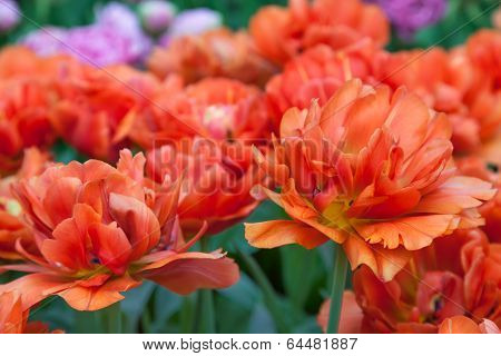 Orange Tulips in Keukenhof Garden Lisse Netherlands