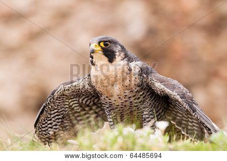 Peregrine Bird
