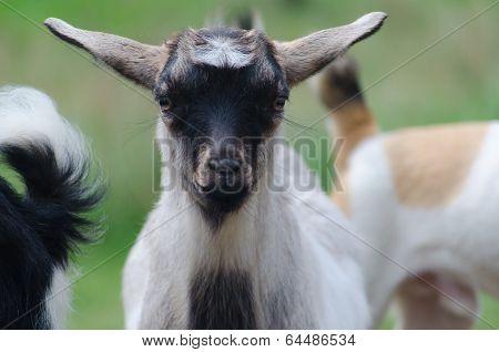A portret of funny black-white goat kid