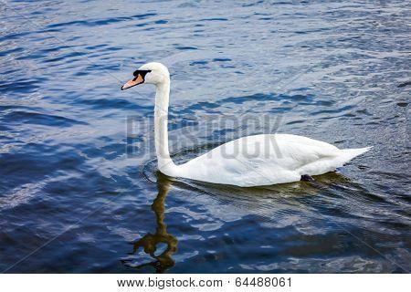 Mute Swan (Cygnus olor) in lake, Munich, Germany