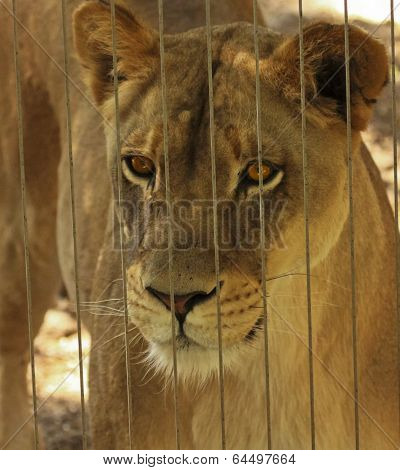 A Lioness Peers Out From Her Zoo Enclosure