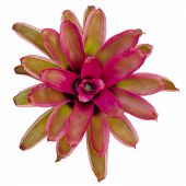 foto of bromeliad  - Bromeliad isolated on white background, neoregelia Bromeliad