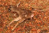 pic of black tail deer  - The carcass of a Black - JPG