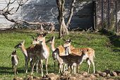 picture of deer family  - The fallow deer  - JPG