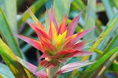 picture of bromeliad  - Nice red leafy bromeliad plant, pine apple flower ** Note: Shallow depth of field - JPG