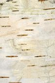 image of white bark  - A close - JPG