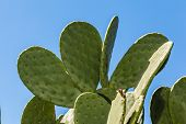 foto of prickly pears  - detail shot of a prickly pear cactus paddle - JPG