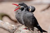 foto of tern  - The Inca Tern is identified by its red beak and feet and white mustache.