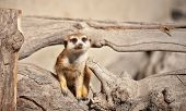 image of meerkats  - funny portrait of Meerkat - JPG