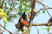 pic of genital  - Flying Fox upside down on the tree - JPG
