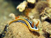 stock photo of pyjama  - A pyjama slug nudibranch  - JPG