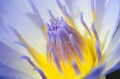 stock photo of white lily  - Purple water Lily is beautiful and more colourful.