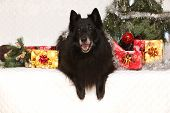 pic of ten years old  - Nice groenendeal ten years old bitch with christmas decoration - JPG