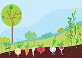 image of root-crops  - Garden in spring with vegetables background vector - JPG