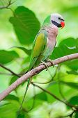 pic of parakeet  - Beautiful green Parakeet bird - JPG