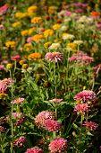 stock photo of zinnias  - beautiful Zinnia flower  - JPG