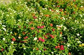 stock photo of lantana  - beautiful Cloth of Gold flower  - JPG