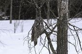 image of snow owl  - A Great Grey Owl sits in a try caught in a snow storm