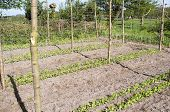 pic of non-toxic  - Beans Stakes and mesh for marrowfats in the vegetable garden Groentenhof in Leidschendam Netherlands - JPG
