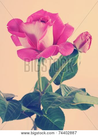 Fresh Natural Pink Rose Against A Pale Pink Background With Retro Vintage Filter.