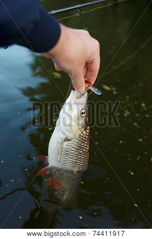 Chub in fisherman's hand half-immersed in water