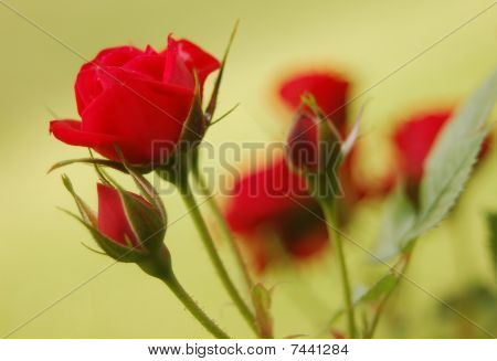 Simple Roses