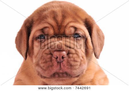 A Portrait Of 1 Month Old Dogue De Borduaux Puppy