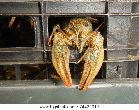 Narrow-clawed Crayfish (astacus Leptodactylus)