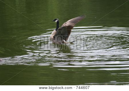 goose spreading wings
