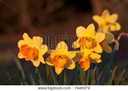 Bunch Of Newly Flowered Daffodils In Spring