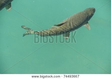 Carp Are Considered Sacred
