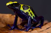 foto of poison dart frogs  - The dyeing dart frog is a large dart frog species found in Suriname - JPG