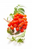 foto of rowan berry  - Rowan berries on a twig with leaves isolated on white