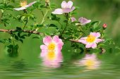 image of dog-rose  - Flowers of dog rose - JPG