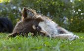 picture of herding dog  - Finnish Lapphund (herding reindeer by the Lapps) rests in a garden. Young female looks at You. Sunny evening and to warm for the dog. ** Note: Shallow depth of field - JPG