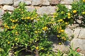 pic of tangerine-tree  - Tangerine tree with ripe fruits close - JPG