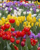 picture of bouquet  - tulip. Beautiful bouquet of tulips. colorful tulips. tulips in spring