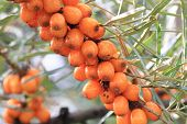 stock photo of sea-buckthorn  - sea buckthorn fruits as exotic food background - JPG