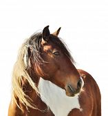 image of paint horse  - Digital Painting Of Paint Horse  On White Background - JPG
