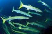 picture of barracuda  - Barracuda Fish - JPG
