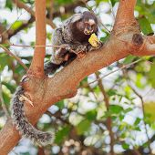 pic of marmosets  - The common marmoset  - JPG