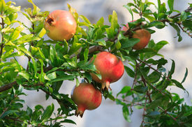 picture of tabernacle  - Ripe pomegranate fruit on a branch close - JPG