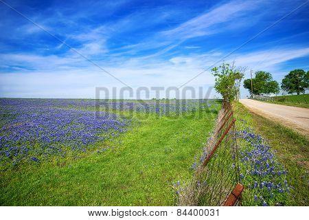 Texas Bluebonnet Field In The Spring