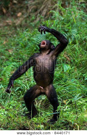 Singing Bonobo.